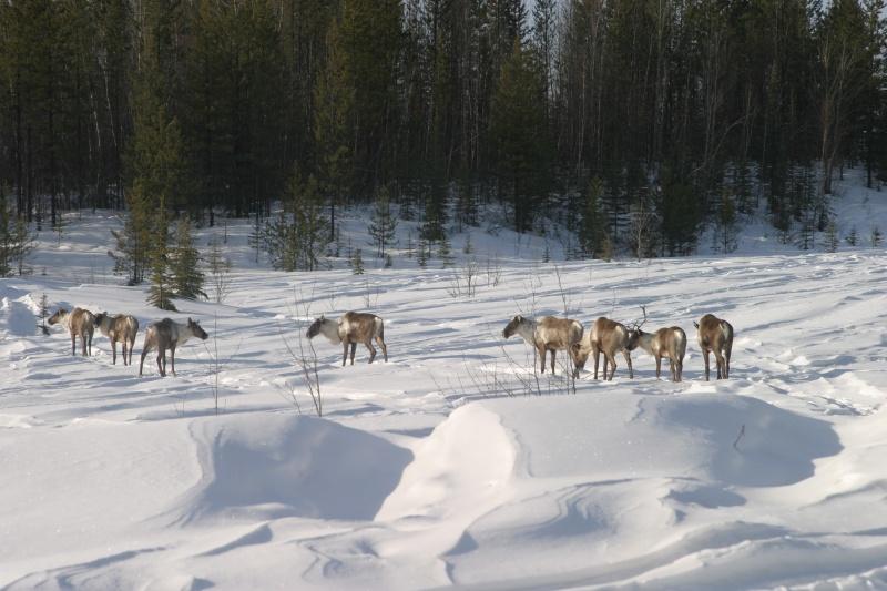 Watson Lake caribou